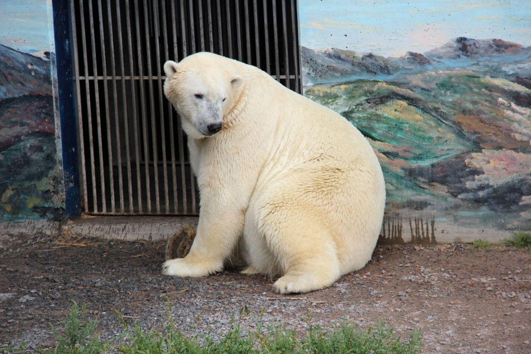 Digital photograph of a polar bear sitting on rocks at the Quebec City Aquarium and Zoo in Quebec Canada.