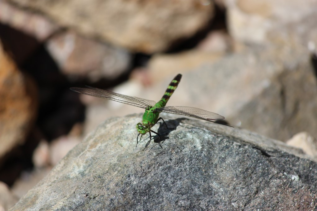 Digital image of a green dragon fly sitting on a rock.