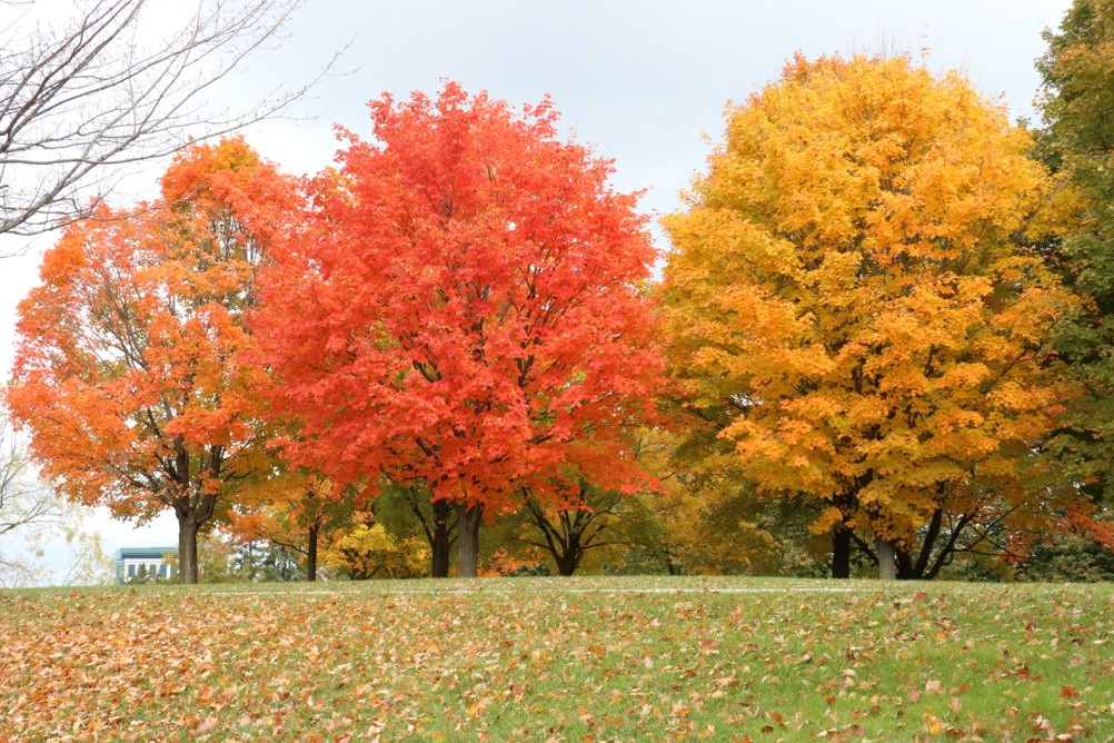 Trees showing the bright fall colors of yellow, red, and orange, which can be found in many parts of Canada and United States.