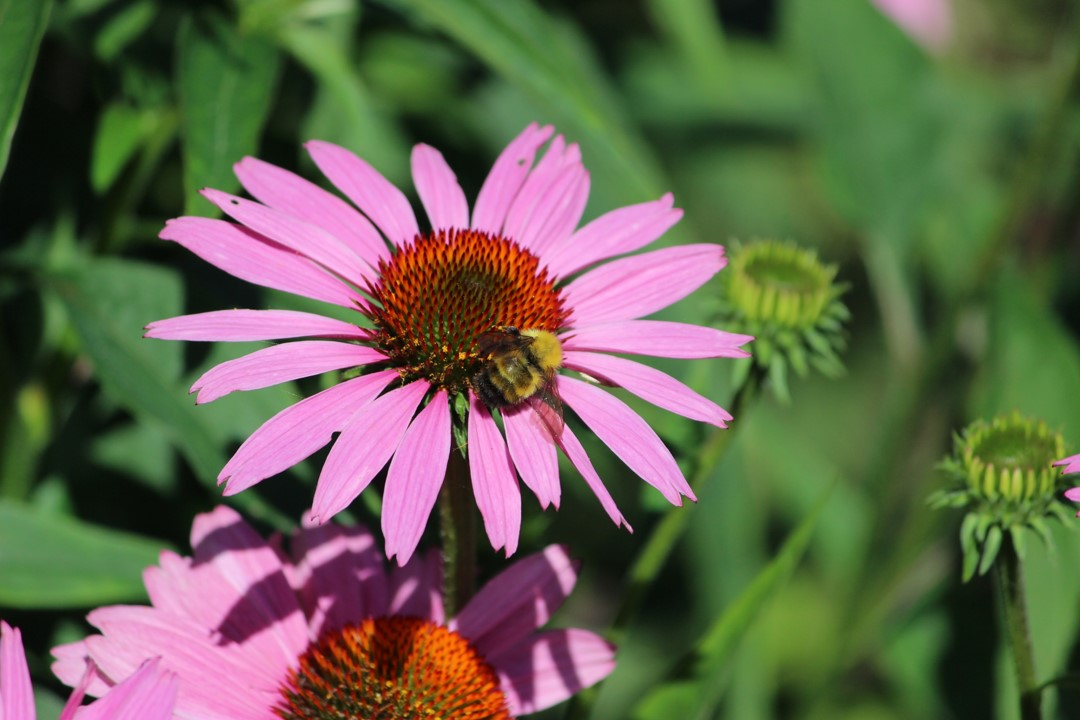 Pink daisy flower with bee on top and gathering pollen. This image provides great color, sharp focus, good depth of field effect, and interesting subject matter.