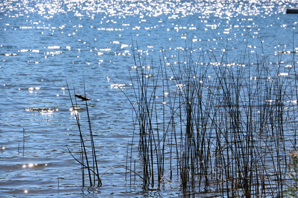 Ripples of water on a lake with sun reflecting off of the water. Tall grass is protruding from the water surface.