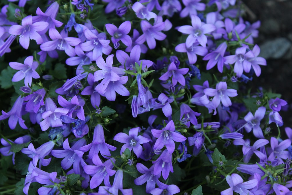 Bright lavender colored flowers with dark green leaves.