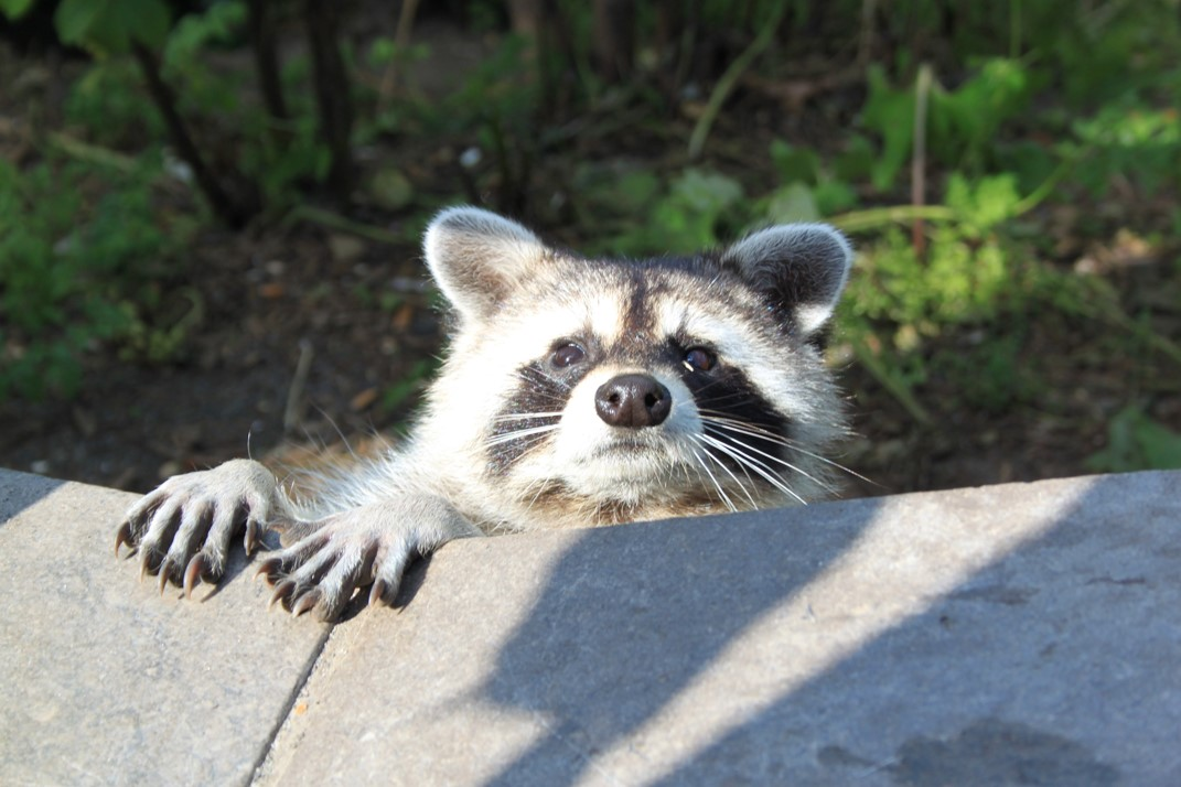 A curious raccoon out in the wild with sun shining on its face and staring at the digital camera.