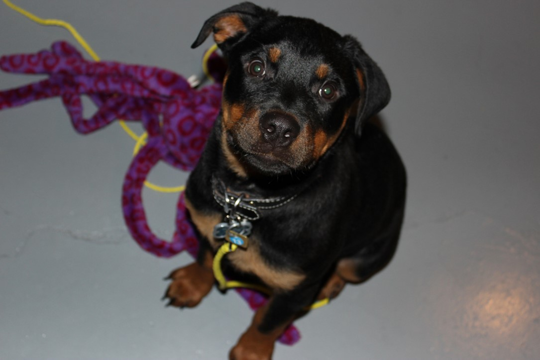 A Rottweiler puppy that is black and brown in color and looking up at the camera.