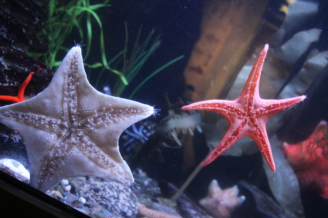 Digital photograph of colorful star fish taken at the Quebec City aquarium in Canada.