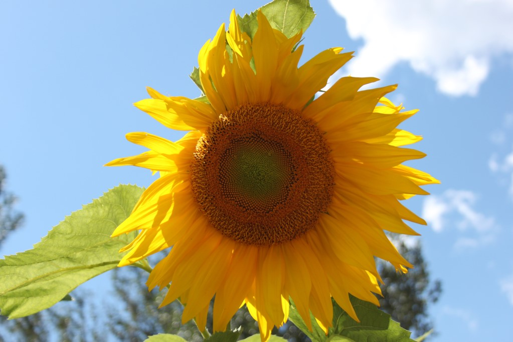 Bright yellow sunflower digital photo with a blue sky background.
